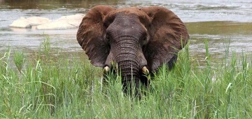 Joven Elefante Africano
